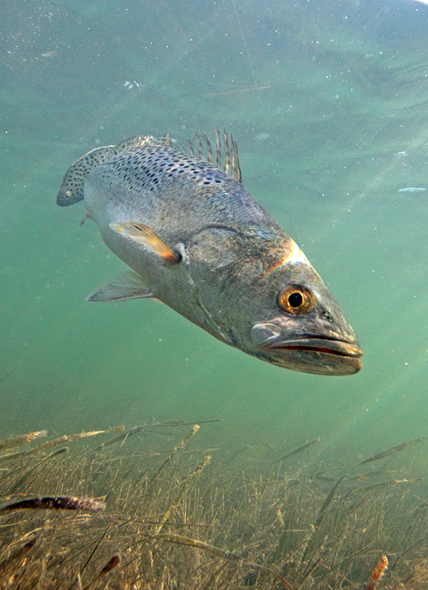Sea trout Cynoscion nebulosus Evan DAlessandro web