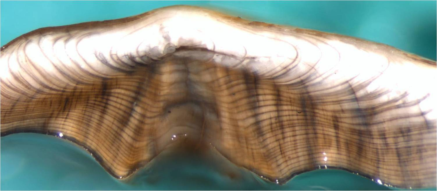 yellowfin sole otolith