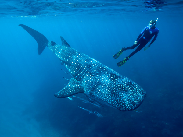 Whale Shark Video and Satellite Tags Help Scientists Understand Energy Use and Feeding Biology