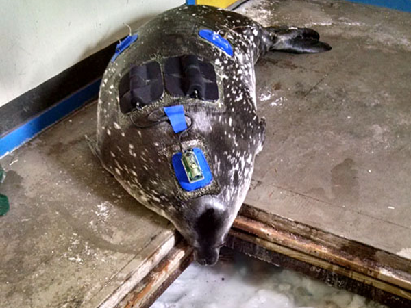 Ever wonder how seals find breathing holes under a thick blanket of snow and ice?