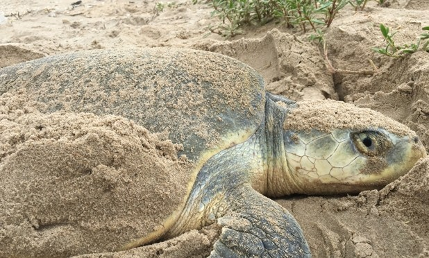 Sea Turtle Nesting Season Begins on the Texas Coast
