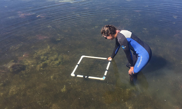 Skinny Seagrass May Increase Hurricane Risk