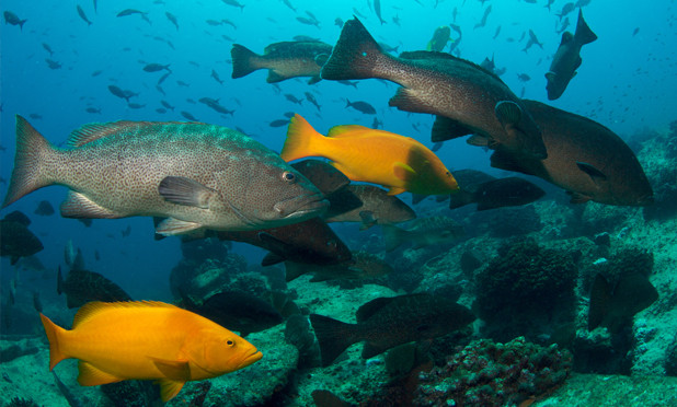 Extinction Risk to World's Groupers Reassessed and Not Improved