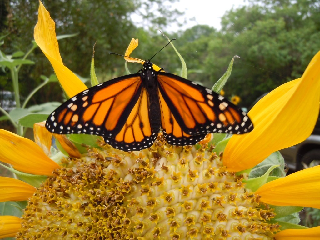 New App will Help Track Monarch Butterflies Migrations in Gulf of Mexico