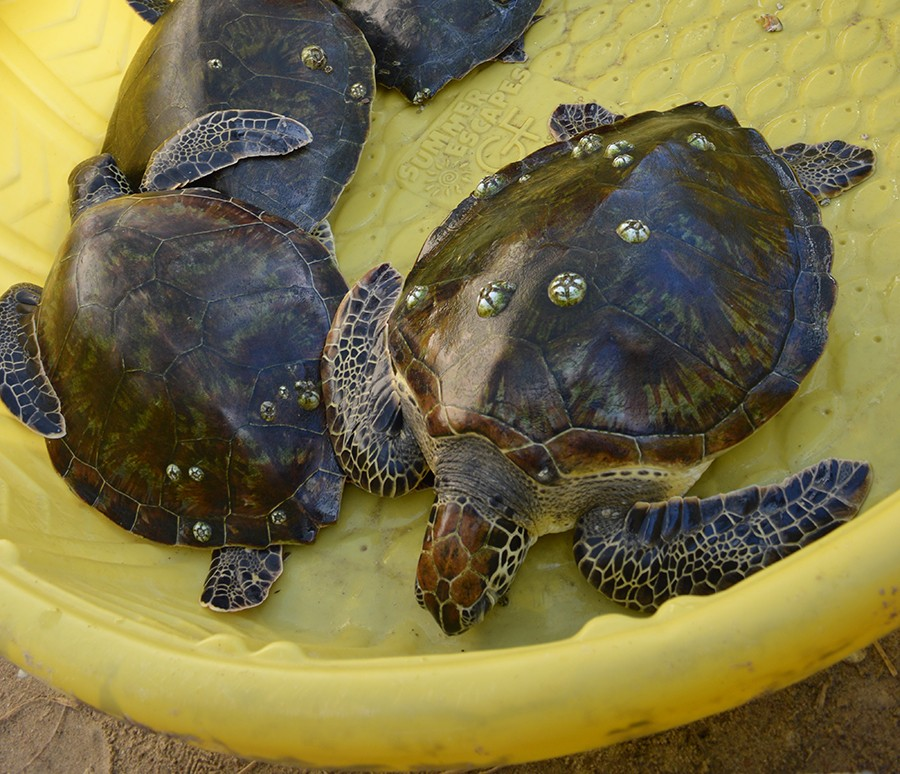 Hundreds of Sea Turtles Get a New Lease on Life