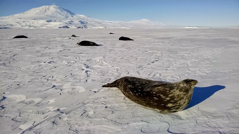 New research begins to understand how Weddell seals navigate under Antarctic ice