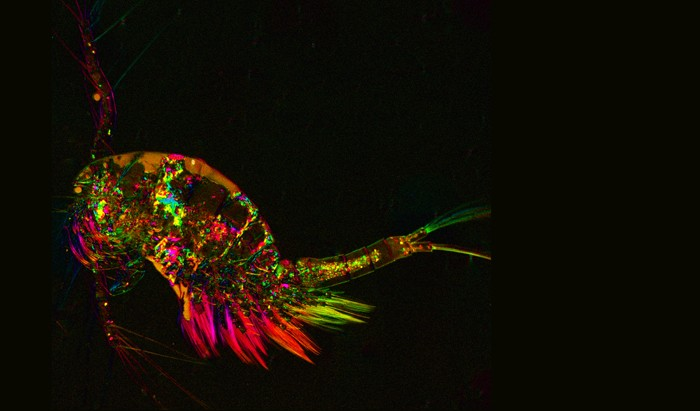 Copepod Wins a Beauty Contest