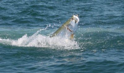b2ap3_thumbnail_Tarpon_FWC-Fish-and-Wildlife-Research-Institute.jpg